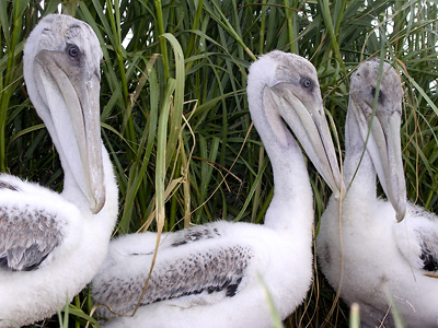 Brown pelican chicks at Breton NWR