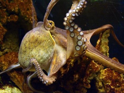 octopus_muller