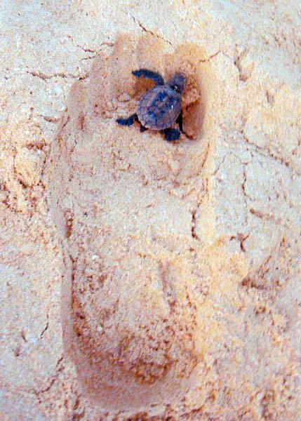 turtle_sand_cherylking