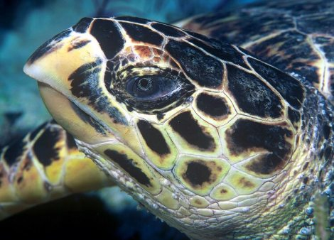 Hawksbill_turtle_doeppne-081
