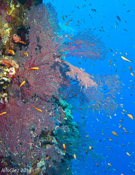 elphinstone reef, red sea