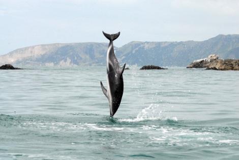 dusky dolphin NZ