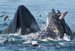 photo by Kate Cummings/Blue Ocean Whale Watch