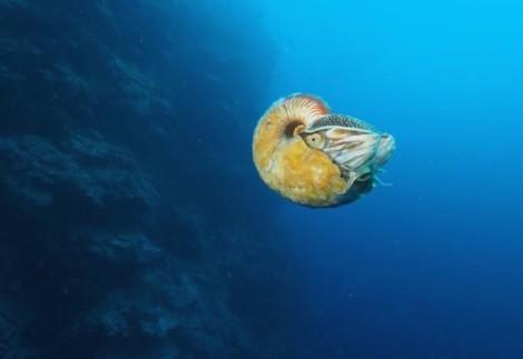 nautilus-larger_B