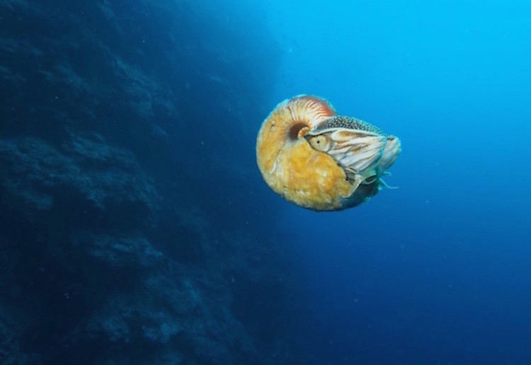 Spotlight: Rare Nautilus Species Seen For First Time In 30Years