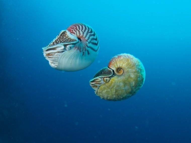 two nautilus