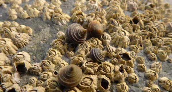 Rough periwinkles sit on a bed of barnacles.