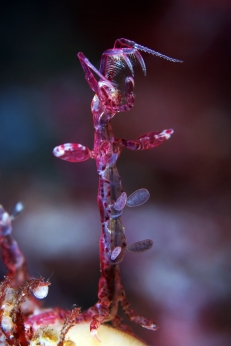 semenov_sea shrimp