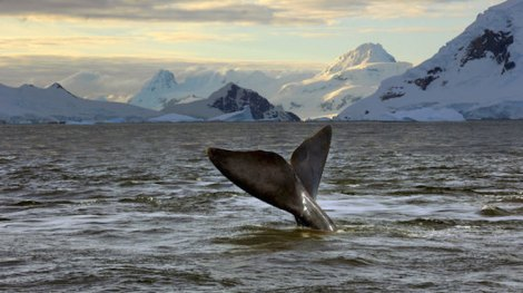 whale-ross-sea