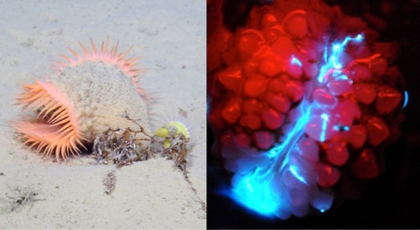 NOAA Ocean Explorer: Bioluminescence and Vision on the Deep Seafloor 2015