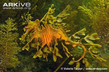 leafy-seadragon-swimming