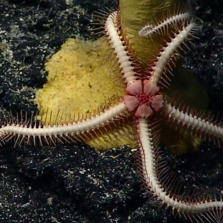 AA-Okeanos-flower star_RBrittin