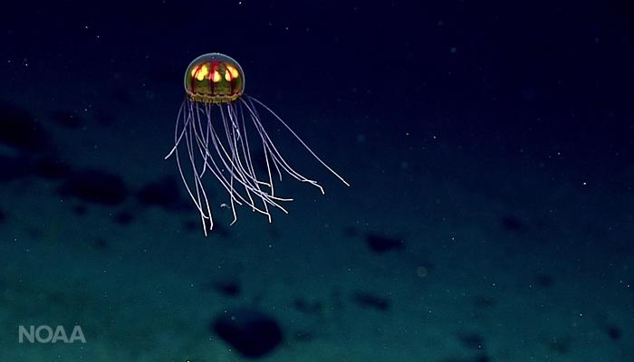 jellyfish-NOAA Okeanos-Musicians Seamount 2017