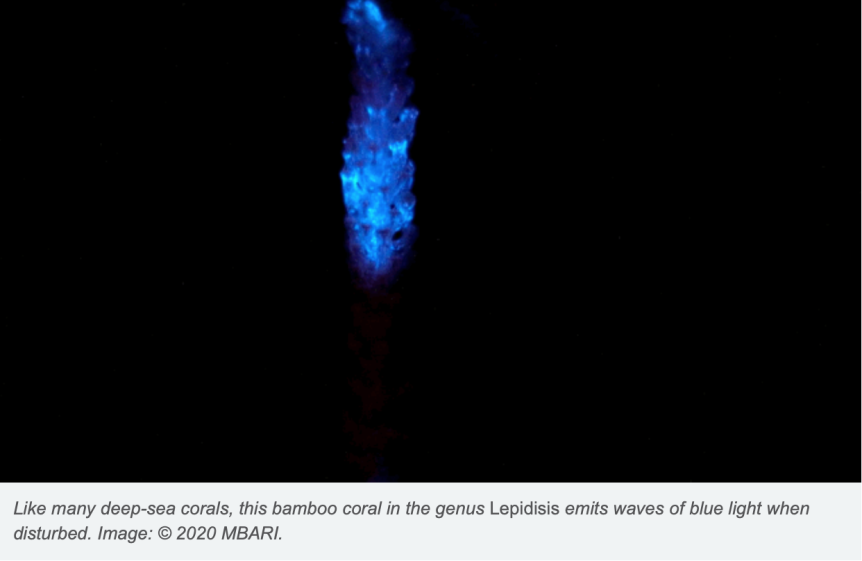 Pandemic Escape: Glow-In-The-Dark Corals Light Up The DeepSea